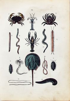 1880S ANTIQUE GERMAN PRINT CRUSTACEANS - CRABS via Grandpa's Market. Click on the image to see more!