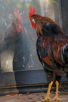 Put a mirror in the coop chickens love to look at themselves!