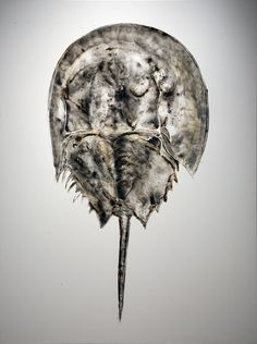 sheila gallagher painting, horseshoe crab (placement?)
