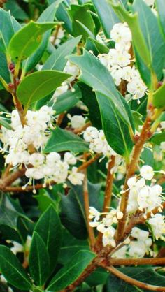 Osmanthus Heterophyllus. Non-edible, strongly-scented flowers. The prickly, holly-like leaves of the plant can be pruned. Forms an impenetrable hedge.