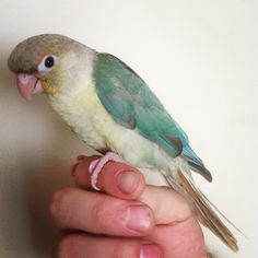 Turquoise Pineapple Green Cheek Conure by Handfed Handfuls #parrots #birds #pets    Please like our facebook page:    https://www.facebook.com/pages/Handfed-Handfuls/337881102982694?ref=ts=ts