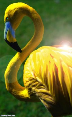 Rare yellow flamingo... apparently this is a real thing.. i learned about it in genetics class, very rare indeed