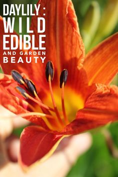 Daylilies add bursts of color to gardens and are a delicious edible - our blog shares how to safely enjoy this plant // Blog Castanea