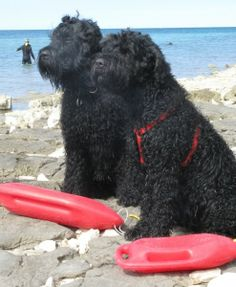 Standard Schnauzer, Giant Schnauzer, Black Russian Terrier, Group Of Dogs, Samoyed, Beach Babe, Terriers, Best Dogs, Terrier