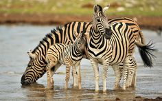 Zebra and Colt is listed (or ranked) 28 on the list The Most Adorable Animal Par. - Zebra and Colt is listed (or ranked) 28 on the list The Most Adorable Animal Parenting Moments - Mother And Baby Animals, Cute Baby Animals, Funny Animals, African Animals, African Safari, Zebra Wallpaper, Hd Wallpaper, Computer Wallpaper, Baby Zebra