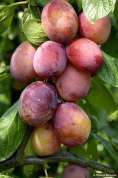 "FarrScape is a social network that lets you share the places and the things that inspires you. http://www.FarrScape.com Prunus domestica 'QUEEN VICTORIA "" Large-plum"