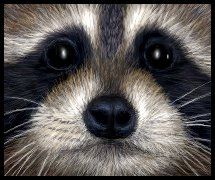 Raccoon face  by ~starmist ..... just some inspiration for when I do Kenzie's Halloween makeup