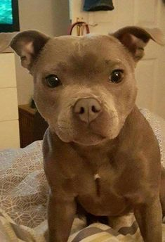 Pitbull puppy via aww on September 29 2018 at - Hundi - Hunde bilder Cute Dogs And Puppies, I Love Dogs, Doggies, Puppies Puppies, Cute Pitbull Puppies, Cute Animals Puppies, Retriever Puppies, Baby Dogs, Pit Bull Puppies