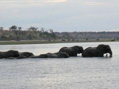 Elephants crossing the Chobe river from Botswana to Namibia