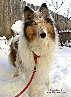 Castle Hill Cafe con Leche Yuki - Collie Fan - Tags: dogs lassie rough collie purebred cute big fluffy dog show snow winter Rough Collie, Collie Dog, Sheepdog Tattoo, Big Fluffy Dogs, Shetland Sheepdog Puppies, Farm Dogs, Dog Information, Dog Mixes, The Perfect Dog