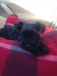 """Awesome """"schnauzer dogs"""" info is offered on our web pages. Read more and you will not be sorry you did. Miniature Schnauzer Black, Black Schnauzer, Miniature Schnauzer Puppies, Schnauzer Puppy, Schnauzers, Puppies And Kitties, Cute Puppies, Cute Dogs, Doggies"""