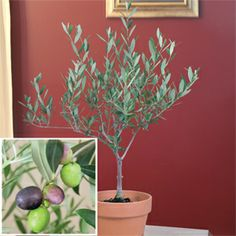 Olive tree Manzanillo grows in a pot 2 to 3 ft tall. $24.95