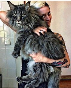 Interested in owning a Maine Coon cat and want to know more about them? The Maine Coon kitten adoption will Cute Cats And Kittens, Cool Cats, Kittens Cutest, Funny Kittens, Pretty Cats, Beautiful Cats, Animals Beautiful, Cute Baby Animals, Funny Animals