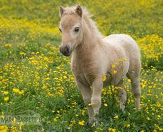 Herd of Miniature horse mares and foals in field of yellow flowers near Warton, U.K.