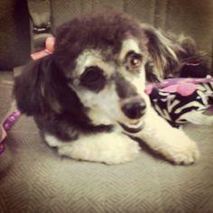 Roxy! #miniaturepoodle