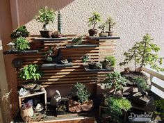 Garden bonsai is one of the characteristic of Japanese garden style. Bonsai is a Japanese art that is made resemble with the original tress, but it is made in small size. Bonsai will give you traditional look and also natural look of garden Bonsai Plants For Sale, Buy Bonsai Tree, Bonsai Tree Types, Bonsai Tree Care, Bonsai Trees, Japanese Garden Style, Chinese Garden, Japanese Art, Plantas Bonsai