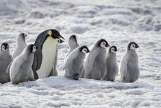 vurtual: Emperor Penguins at Snow Hill Island. Penguin Love, Cute Penguins, Photo Grouping, Sea Birds, Antarctica, Emperor Penguins, Spirit Animal, Scenery, Cute Animals
