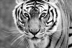 black-and-white: tiger. future pet and partner in crime. White Tiger Pictures, Black Tigers, Here Kitty Kitty, Life Is Like, Nature Pictures, Beautiful Creatures, Lions, Black And White, Pets