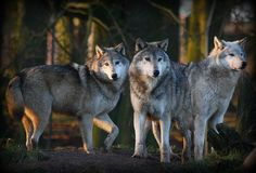 Wolf Wood | Flickr - Photo Sharing!