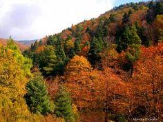 Φθινοπωρινά χρώματα στο καστανοδάσος της Στενής, στο όρος Δίρφυς της Εύβοιας.