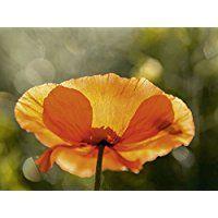 Artland Echt-Glas-Wandbild Deco Glass Andrea Potratz Mohnblume im Gegenlicht Botanik Blumen Mohnblume Fotografie Orange 60 x 80 x 1,1 cm