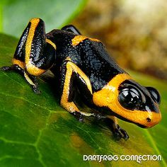 Dart Frog Connection - Intermedius Banded Color: Yellow/Orange and Black  Size: Small- Reaching up to 3/4 inch or larger.  Locality: Found in the rainforest of Peru near San Martin  Difficulty: Intermediate  Temperature: Range between 70-80 degrees Fahrenheit  Humidity: 60%-80%  Behavior: Bold- Hardy- Arboreal- Loud Call- Does fine in groups  Terrarium Setup: 1 square ft per frog- Arboreal