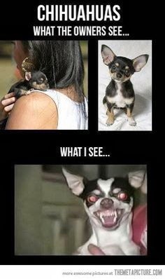 Chihuahuas  What the owners see...Cute little puppies.  What I see...Demon dog with red eyes and angry fans.