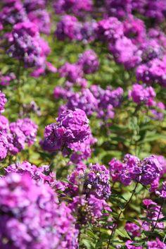 Diese Ansammlung von Lila Blumen habe ich in Bad Pyrmont gefunden. Fotografiert ende Sommer mit einer EOS 450.