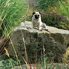 Hester the pug likes to survey the world from her rocky perch in a West Seattle garden.