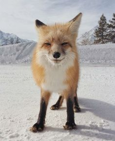 Foxes are so darn cute and playful.