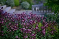 Stjärnflockan Astrantia 'Hadspens Blood' i Victorias trädgård Cottage Garden Plants, Porch Garden, Garden Landscaping, Purple Garden, Shade Garden, Outdoor Plants, Outdoor Gardens, Summer House Garden, Rustic Garden Decor