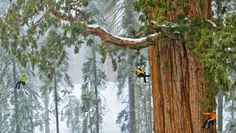 "The world's second-largest known tree, the President, in Sequoia National Park is photographed by National Geographic magazine photographer Michael ""Nick"" Nichols for the December 2012 issue. The final photograph is a mosaic of 126 images. Giant Sequoia Trees, Giant Tree, Big Tree, Tree Tree, Sierra Nevada, Sequoia National Park, National Parks, National Forest, National Geographic"