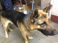 Downey, CA - OUT OF TIME!!!! URGENT!!!!  **RED CODE** <3 Hunter #A4624353 approx. 6 year old male germ #shepherd - not neutered.  I have been at the Downey SHELTER - (562) 940-6898, since August 26, 2013.  I am available on August 26, 2013.  You can visit me at my temporary home at D402. https://www.facebook.com/photo.php?fbid=10153141683160467&set=t.1250658655&type=1&theater