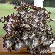 Begonia 'Super Curl'