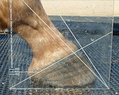 A straight line originating in the center of the fetlock (front to back) should continue through the middle of the pastern and hoof to the ground.