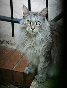 Maine Coon Cat Rescue