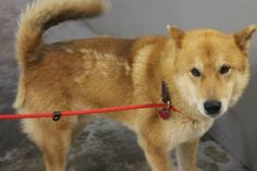Ozzie: Gorgeous shepherd/chow mix is out of time at high-kill upstate shelter ADOPTED!