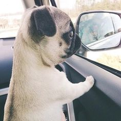 Pug puppy, pining for an escape.