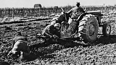 1970 -Today, you can plant 1210 vines per acre. Here the grape growers are planting around 700-750 which is considered a good crop. The tractor drops the vine roots which are put into place by the men following.
