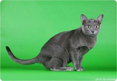Korat Cat in Finland Best Pictures Ever, Cool Pictures, Korat Cat, Rare Cat Breeds, Doug The Pug, Grumpy Cat, Cat Life, Pugs, Fur Babies