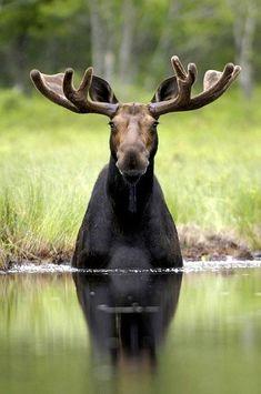 Moose by taren madsen