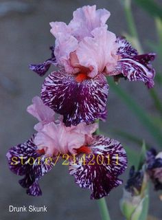 50pcs/bag pink iris seeds, bearded iris seeds, rare bonsai iris Phalae – Luxberra