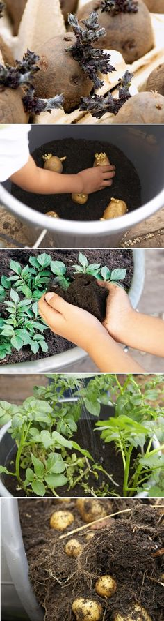 "How to grow Potatoes in Pots....Put Seed Potatoes in Egg Cartons for Sprouting Sprout (""chit"") potatoes before planting. In early spring, place seed potatoes in egg boxes, with the end with the most eyes facing upward, and set them on a cool windowsill. Plant when the shoots are ¾in (2cm) long."
