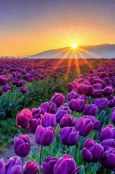 Fields & Fields of Purple Tulips... at Sunrise