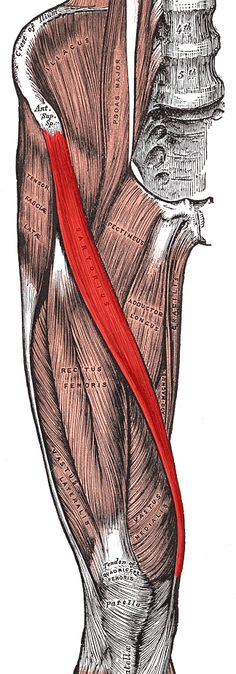 The sartorius is the longest muscle in the human body. It allows us to cross our legs! :)