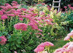 www.rustica.fr - Eté fleuri : les grands sedums