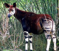 The okapi is a beautiful, strange looking giraffid artiodactyl mammal that is endemic to the Ituri Rainforest,  in the northeast of the Democratic Republic of Congo, Central Africa. One of the few large mammals discovered after 1900.  #mammals #cryptid #cute #beautiful