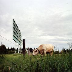 La vache du Ciné-Parc - The cow at the drive-in cinema! Drive In Cinema, Cow, Scrap, Park, Animals, Film Photography, Animales, Animaux, Cattle
