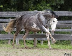 another photo of the bay mare American Iris. probably dominant white or sabino mare. photo by acc photography