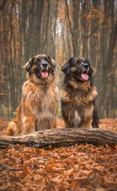 Simplicity is Happiness leonberger Simplicity is Happiness Leonburger Dog, Pet Dogs, Dogs And Puppies, Doggies, Large Dog Breeds, Large Dogs, Dog Photos, Dog Pictures, Really Big Dogs